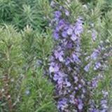 Tuscan Blue Rosemary 4 Inch Pot