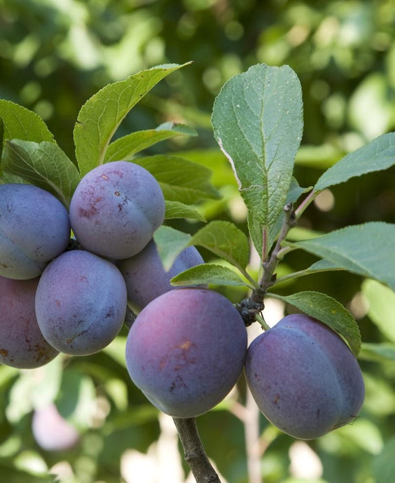 Italian Prune European Plum