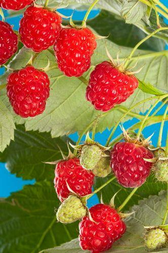 Meeker Raspberry-4 Inch Pot