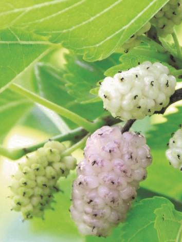 White Fruiting Mulberry
