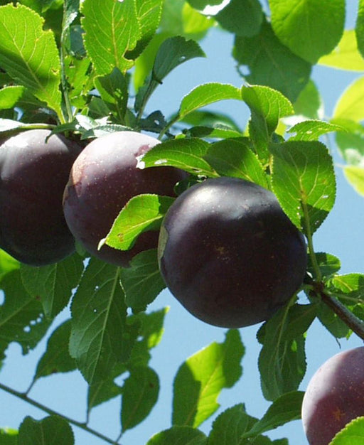 Obilnaja Asian Plum