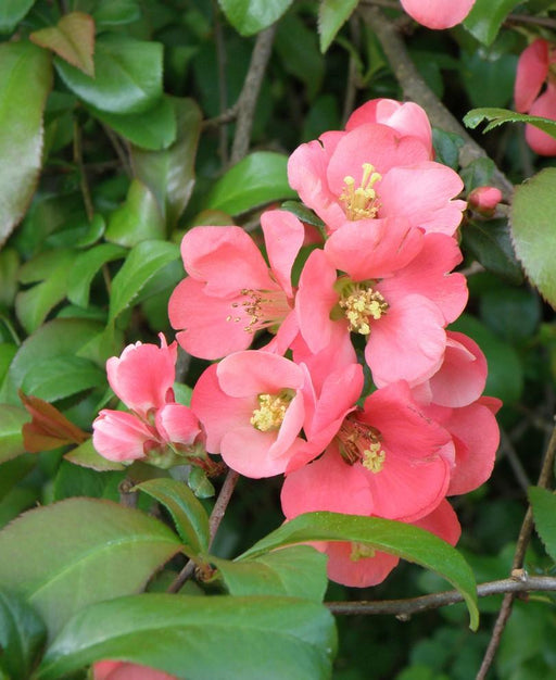 Old Homestead Flowering Quince