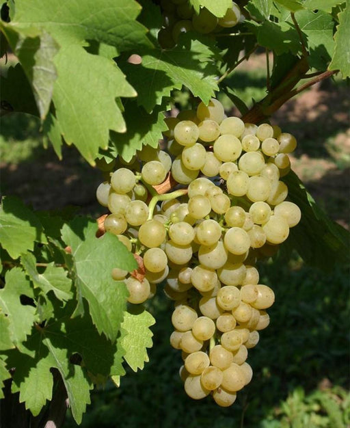 Ortega Grape