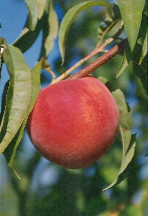 Early Redhaven Peach