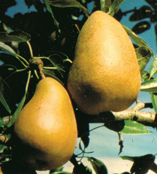 Highland European Pear