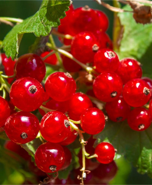 Tatran Red Currant