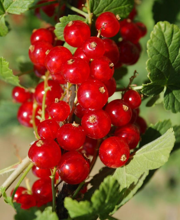 Cascade Red Currant