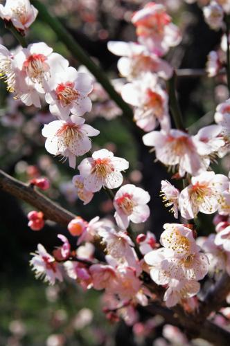 Bungo Flowering Apricot