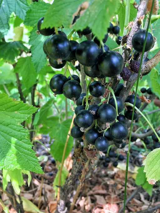 September Black Currant