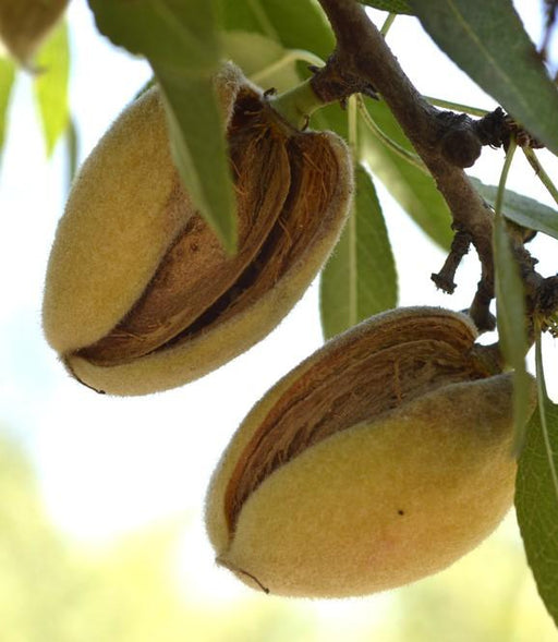 Hall's Hardy Almond