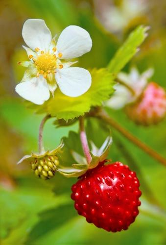 Profumata Musk Strawberry