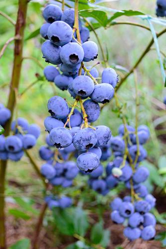 Bluegold Blueberry