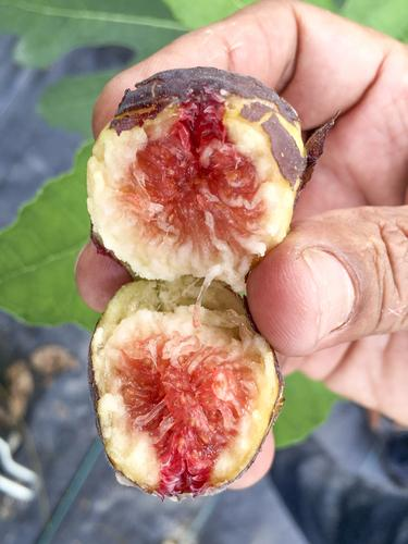 Hardy Chicago Fig