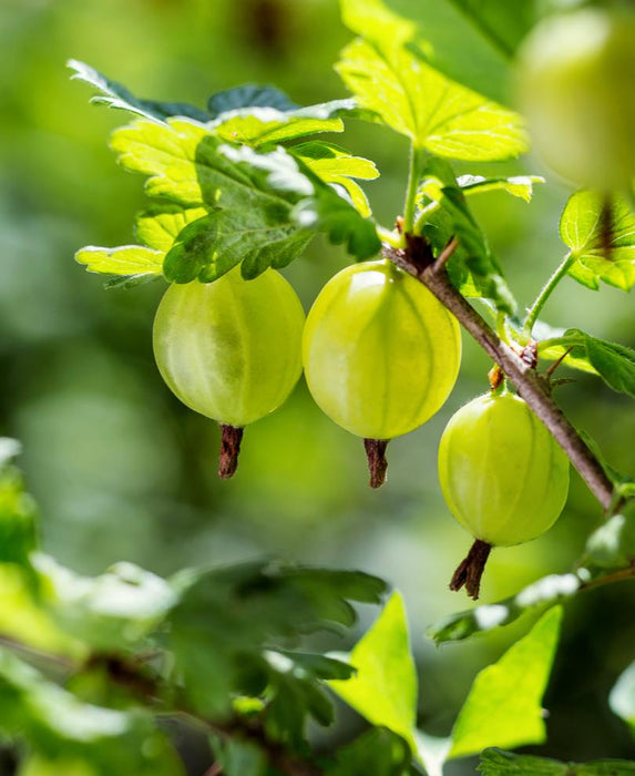 Whitesmith Gooseberry