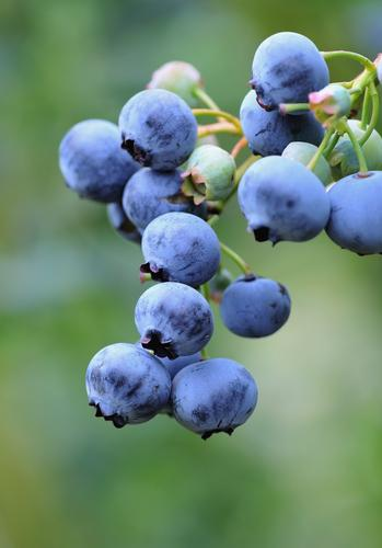Bushel and Berry® Perpetua® Blueberry