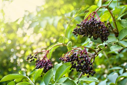 Haschberg Elderberry