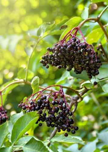Sampo Elderberry