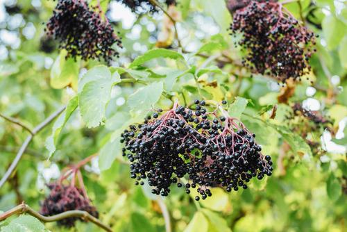 Korsor Elderberry