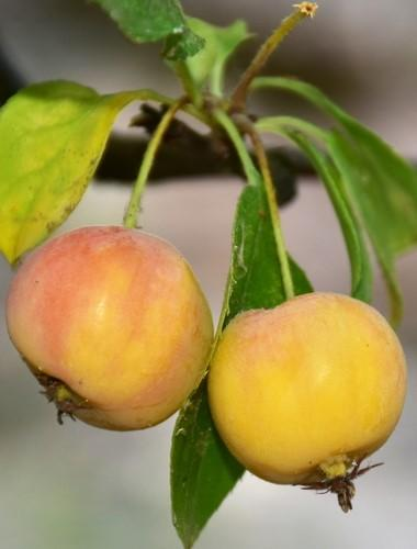 Hewes Virginia Crabapple