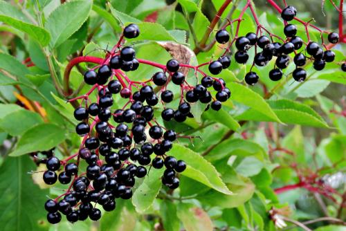 Allesoe Elderberry