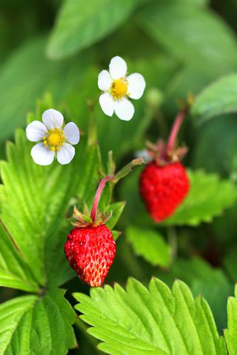 Mignonette Strawberry