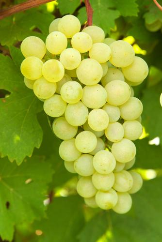 Lakemont Seedless Grape
