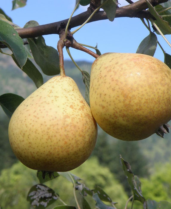 Hendre Huffcapp European Perry Pear