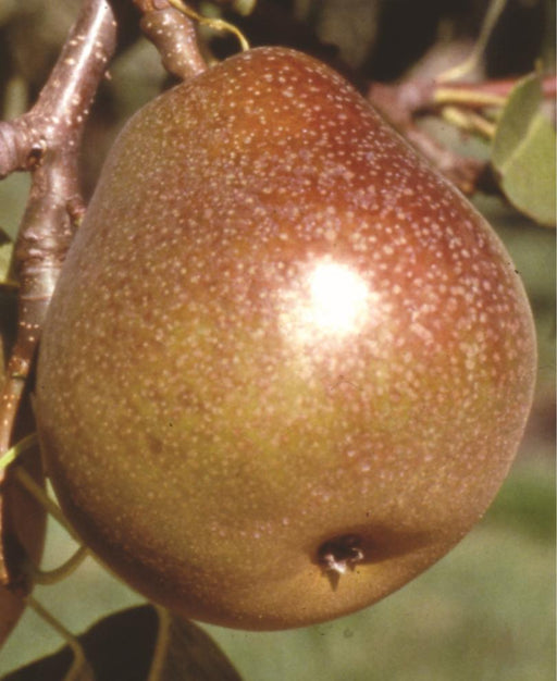 Honey Sweet European Pear