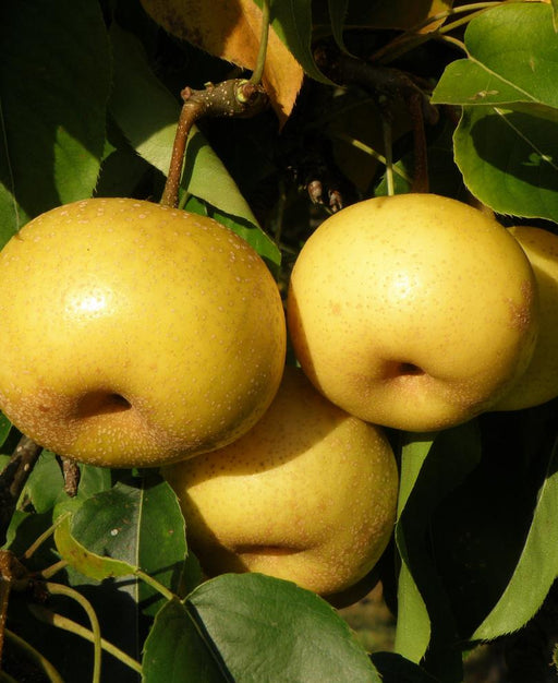 Kikisui Asian Pear