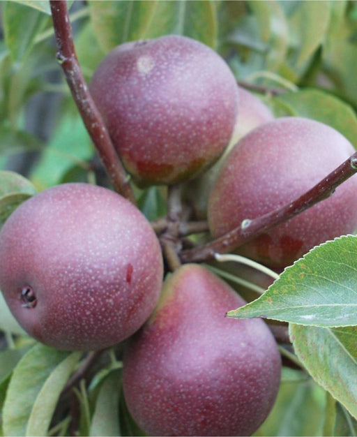 Seckel European Pear