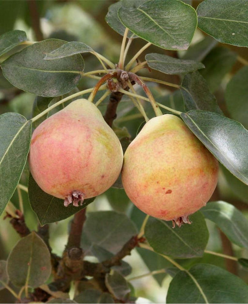 Summer Blood Birne European Pear