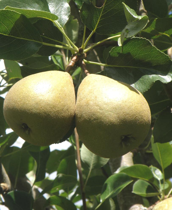 Barnett European Perry Pear
