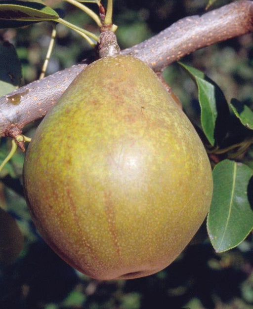 Warren European Pear