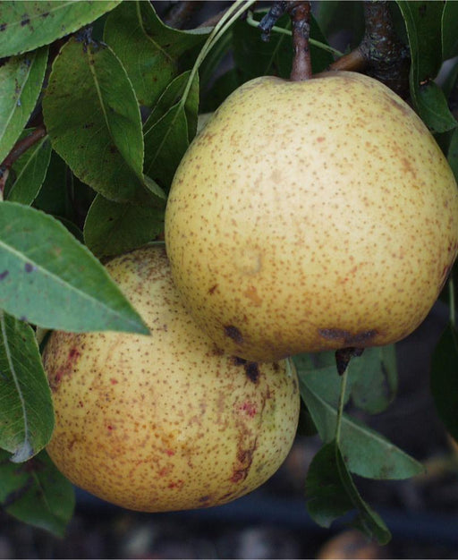 White Doyenne European Pear