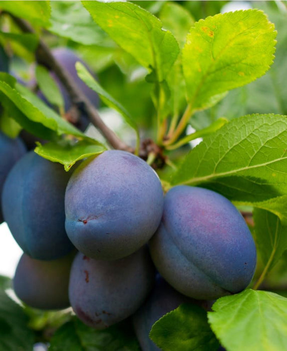 Combo European Plum Tree (4 varieties)