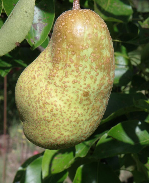 Tsu Li Asian Pear