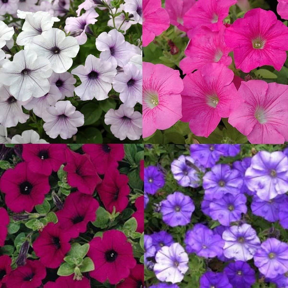 Petunia 6 Pack (In Store Only) Lawn and Garden Vanderwees