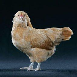 Ameraucana Chicks (Pullets) Exotic Chicks Performance Poultry