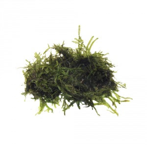 buy Big Willow Moss online fast delivery aquarium plant