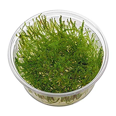 buy Stringy Moss online fast delivery aquarium plant