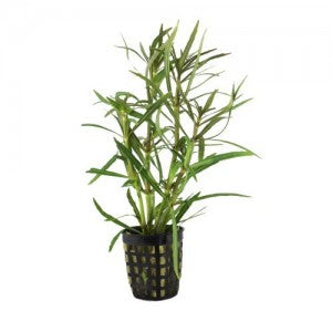 buy Eusteralis Narrow Leaf online fast delivery aquarium plant