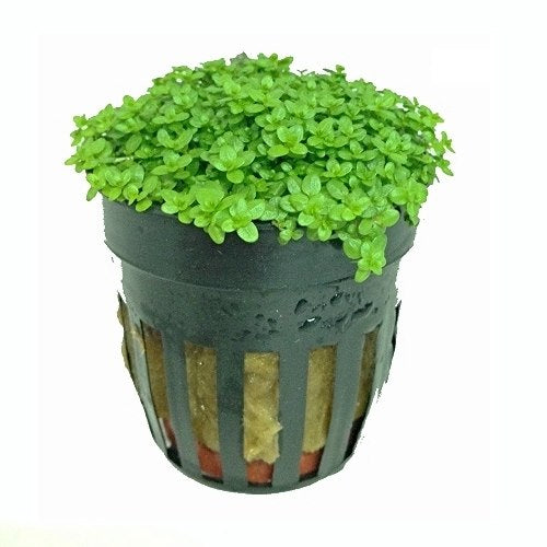 buy Hemianthus Callitrichoides - Dwarf Baby Tears online fast delivery aquarium plant
