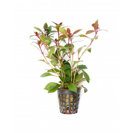 buy Ludwigia Repens Rubin online fast delivery aquarium plant