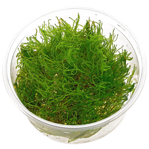 buy Taiwan Moss online fast delivery aquarium plant