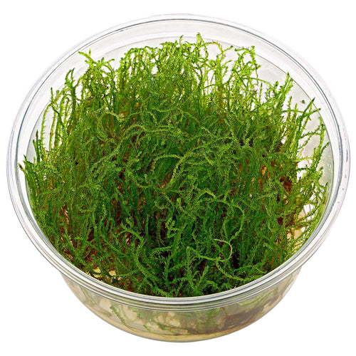 buy Creeping Moss online fast delivery aquarium plant