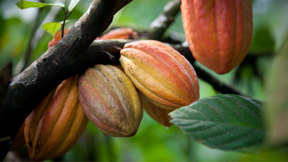 Cacao - Interesting facts you probably didn't know