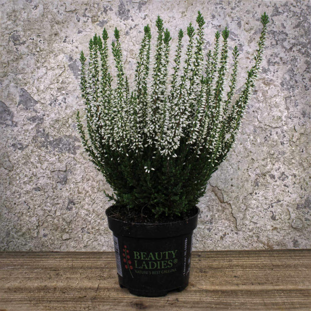 Calluna vulgaris Beauty-Ladies (Mixed) 9cm ⦰