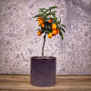 Citrus fortunella 'kumquat' 15cm ⦰