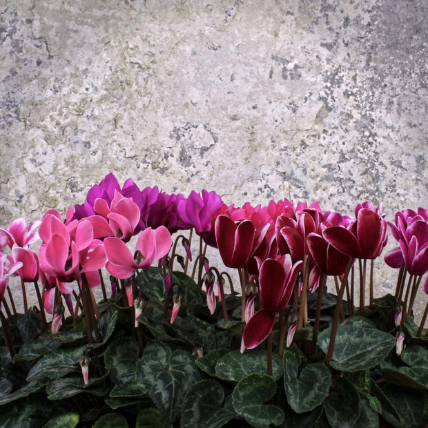Cyclamen (Mini Type) 9cm