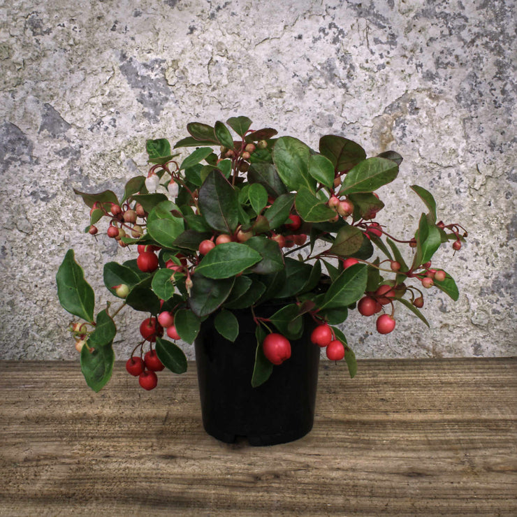 Gaultheria procumbens 'Big Berry' Extra 10.5cm ⦰